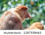 the proboscis monkey  nasalis... | Shutterstock . vector #1287558463