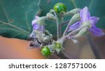 green eggplants and purple...   Shutterstock . vector #1287571006