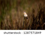 adult male eastern stonechat ... | Shutterstock . vector #1287571849