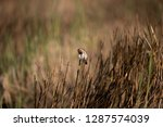 adult male eastern stonechat ... | Shutterstock . vector #1287574039