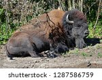 a plains bison sleeping on the... | Shutterstock . vector #1287586759