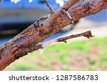 a taped graft on a tree... | Shutterstock . vector #1287586783