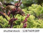 a kea  an alpine parrot ...   Shutterstock . vector #1287609289