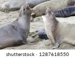 two female elephant seals... | Shutterstock . vector #1287618550