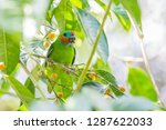 Double Eyed Fig Parrot Is...