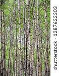 a view of endless poplar trees... | Shutterstock . vector #1287622303