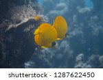 masked butterflyfish on coral... | Shutterstock . vector #1287622450