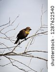 a female yellow headed... | Shutterstock . vector #1287622540