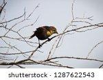 a female yellow headed... | Shutterstock . vector #1287622543