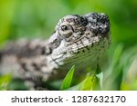 a baby bearded dragon closeup...   Shutterstock . vector #1287632170