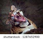 clouded leopard   neofelis... | Shutterstock . vector #1287652900