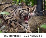 clouded leopard   neofelis... | Shutterstock . vector #1287653356