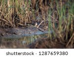a flock of scaly breasted munia ... | Shutterstock . vector #1287659380