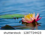 light pink of water lily or... | Shutterstock . vector #1287724423