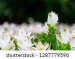 flowers in nature.   Shutterstock . vector #1287779590
