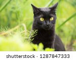 Stock photo bombay black cat portrait with yellow eyes and attentive look in green grass in nature in garden 1287847333