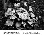 beautiful flowers. black and...   Shutterstock . vector #1287883663