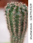 houseplant cactus in a green...   Shutterstock . vector #1287915529
