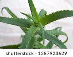 aloe houseplant. green leaves...   Shutterstock . vector #1287923629
