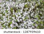 houseplant hebe green globe....   Shutterstock . vector #1287939610