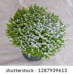 houseplant hebe green globe....   Shutterstock . vector #1287939613