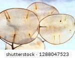 Ornamental Pods Of Lunaria  In...