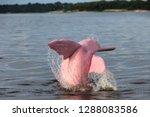 boto amazon river dolphin | Shutterstock . vector #1288083586