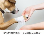 Small photo of Medical treatment of pet concept: bandaging a dog's paw. Hands applying bandage on a wounded body part of a dog