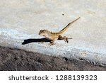 lizard waiting to cross the... | Shutterstock . vector #1288139323