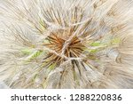 Macro View Of A Tragopogon Seed ...