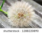 The Seed Head Of A Large Weed   ...