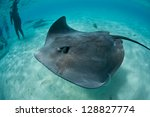A Tahitian Stingray  Himantura...