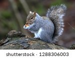 Squirrel Eating A Nut Lunch On...
