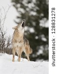 Howling Coyote In Snow