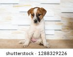 jack russell puppy sitting | Shutterstock . vector #1288329226