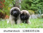 Stock photo two cute leonbergers puppies 1288335136