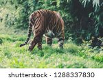 a tiger washing and grooming... | Shutterstock . vector #1288337830