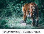 a tiger washing and grooming... | Shutterstock . vector #1288337836