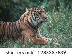 a tiger washing and grooming... | Shutterstock . vector #1288337839