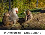 family life of baboons in zoo | Shutterstock . vector #1288368643