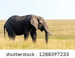 an african elephant grazing... | Shutterstock . vector #1288397233