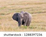 an african elephant grazing... | Shutterstock . vector #1288397236