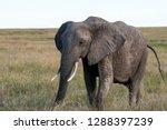 an african elephant grazing... | Shutterstock . vector #1288397239