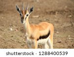 Young Arabian Gazelle  Mountai...