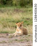 a lioness sitting in the grass... | Shutterstock . vector #1288400650