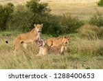 a lioness sitting in the grass... | Shutterstock . vector #1288400653