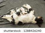 a litter of little dog breed.... | Shutterstock . vector #1288426240