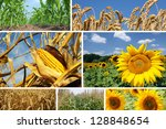 Corn, Wheat and Sunflower Collage - stock photo