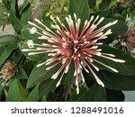 closeup quezonla flower bouquet ... | Shutterstock . vector #1288491016