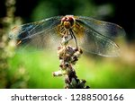 Stock photo dragonfly wings closeup in summer garden background image dragonfly with colorful wings in 1288500166